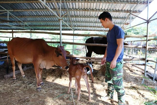 """Đàn bò tót từng bị bỏ đói ở Ninh Thuận nay đã sinh """"Hậu duệ"""" F3  - Ảnh 3."""