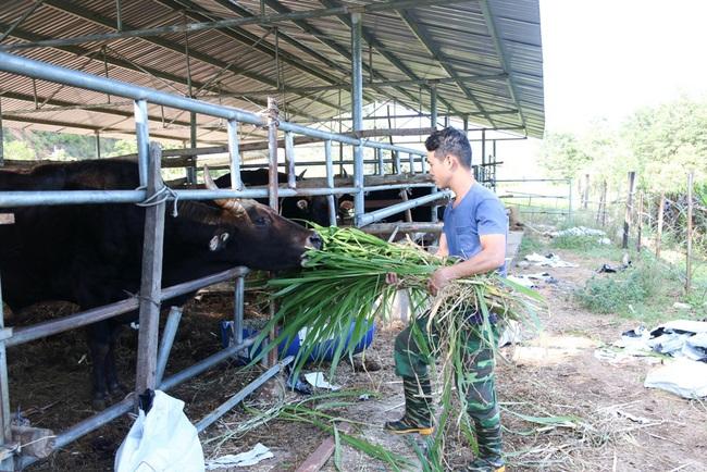 """Đàn bò tót từng bị bỏ đói ở Ninh Thuận nay đã sinh """"Hậu duệ"""" F3  - Ảnh 5."""