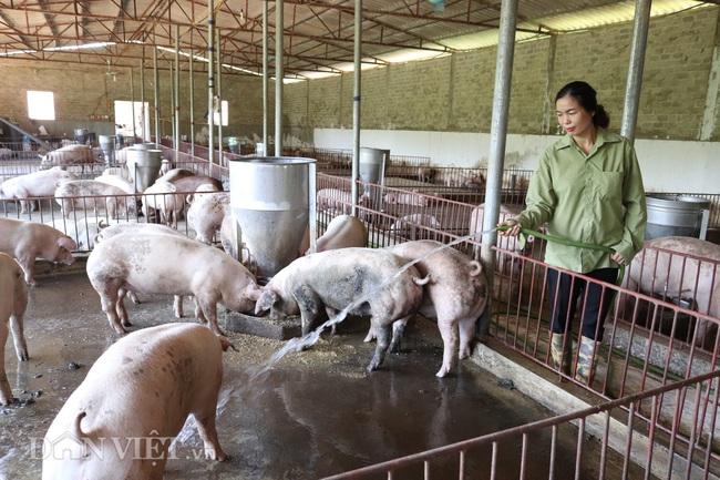 Gồng mình chăm đàn lợn đón thị trường Tết  - Ảnh 1.