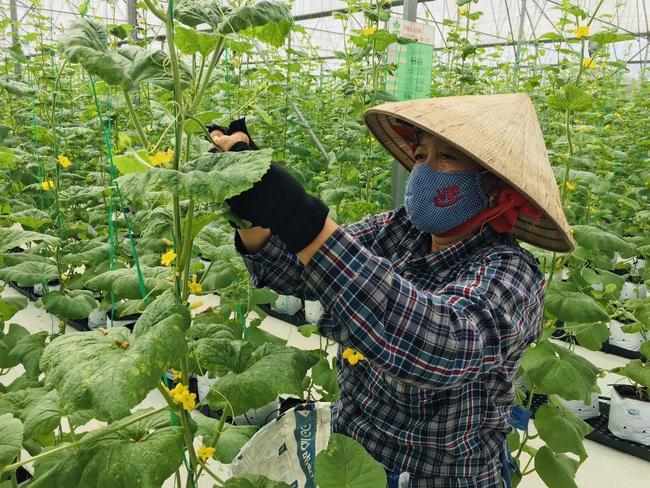 """Nông dân cùng doanh nghiệp """"đan tay"""" trồng dưa lưới thu lãi cao - Ảnh 4."""