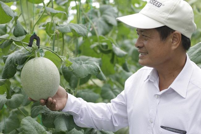 """Nông dân cùng doanh nghiệp """"đan tay"""" trồng dưa lưới thu lãi cao - Ảnh 2."""