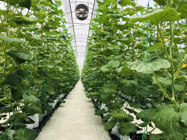 """Nông dân cùng doanh nghiệp """"đan tay"""" trồng dưa lưới thu lãi cao - Ảnh 1."""