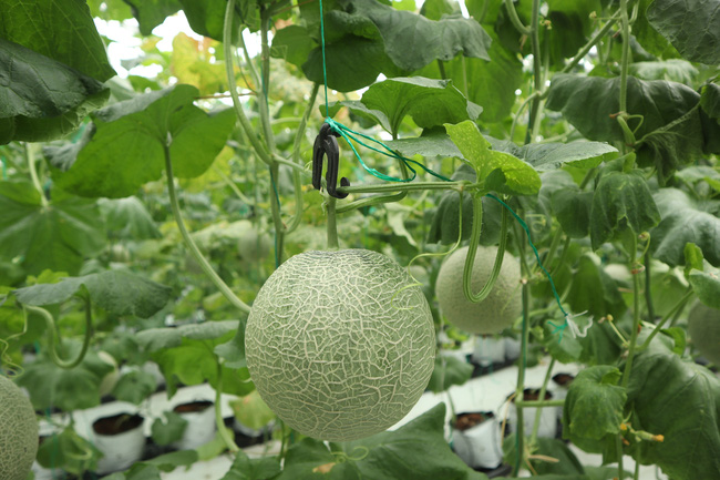"""Nông dân cùng doanh nghiệp """"đan tay"""" trồng dưa lưới thu lãi cao - Ảnh 3."""