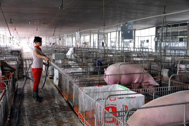 Giá heo hơi tăng, nhà nông gồng mình chăm đàn lợn đón thị trường Tết - Ảnh 4.