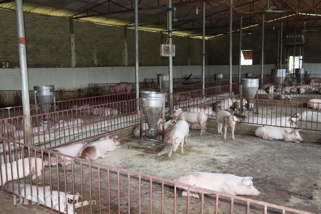 Giá heo hơi tăng, nhà nông gồng mình chăm đàn lợn đón thị trường Tết - Ảnh 5.