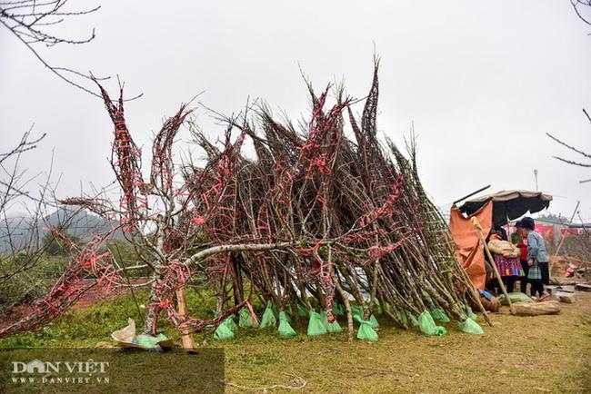 Sơn La: Cơ quan chức năng nói gì về chỉ đạo của Thủ tướng về cấm chặt đào rừng - Ảnh 1.
