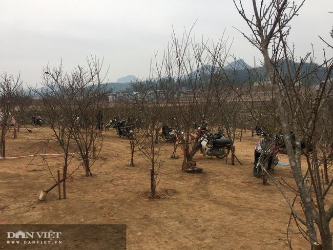 Sơn La: Cơ quan chức năng nói gì về chỉ đạo của Thủ tướng về cấm chặt đào rừng - Ảnh 3.