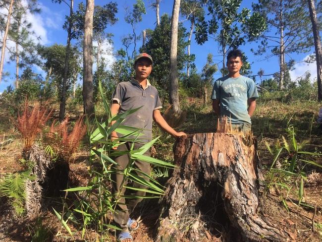 Bắt tạm giam một đối tượng, điều tra vụ phá rừng, cưa hạ 29 cây thông 3 lá - Ảnh 1.