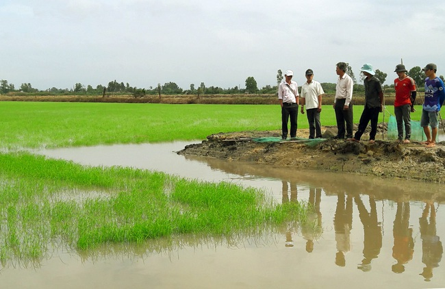 Làm giống lúa này, nông dân Bạc Liêu không lo đầu ra vì đã có doanh nghiệp bao tiêu - Ảnh 1.