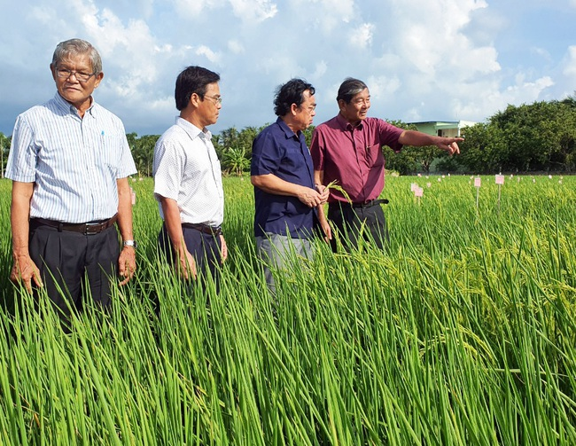 Làm giống lúa này, nông dân Bạc Liêu không lo đầu ra vì đã có doanh nghiệp bao tiêu - Ảnh 3.