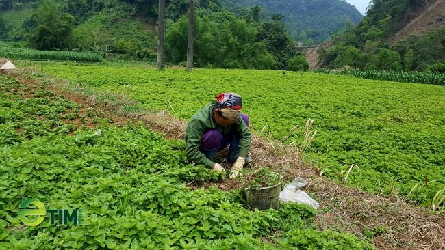 Cây thạch đen rộng đường xuất ngoại, nông dân xứ Lạng phấn khởi  - Ảnh 1.