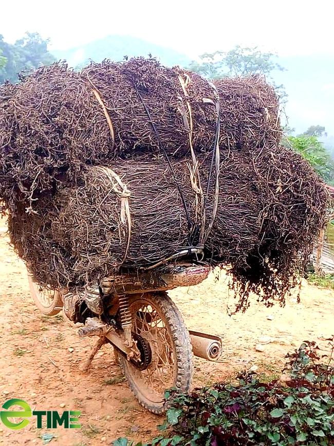 Cây thạch đen rộng đường xuất ngoại, nông dân xứ Lạng phấn khởi  - Ảnh 3.