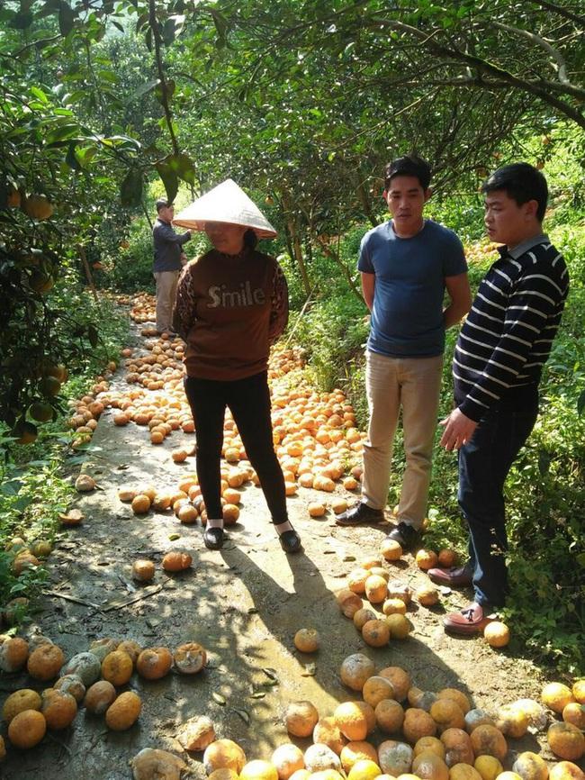 Cam Hà Giang rụng: Trên 70%, nông dân được hỗ trợ 4 triệu đồng/ha - Ảnh 1.