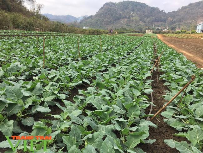 Nông dân giỏi Sơn La- làm giàu nhờ trồng rau sạch  - Ảnh 2.