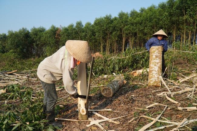 Quần quật chặt cưa, khuân vác tấn gỗ/ngày mới thu được 160.000 đồng - Ảnh 2.