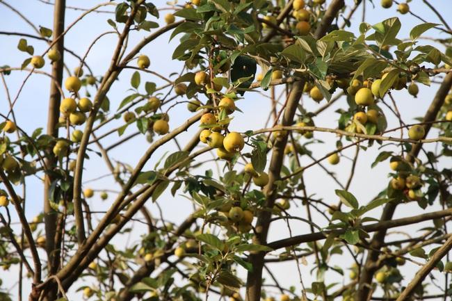 Nông dân Mường La thoát nghèo từ trồng cây ăn quả trên đất dốc  - Ảnh 3.