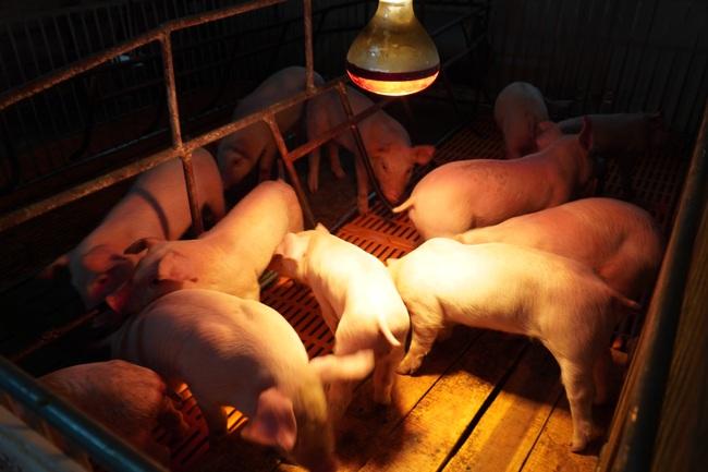 Ông Nguyễn Như So: Thịt lợn quan trọng, cần đưa vào danh mục dự trữ quốc gia - Ảnh 2.