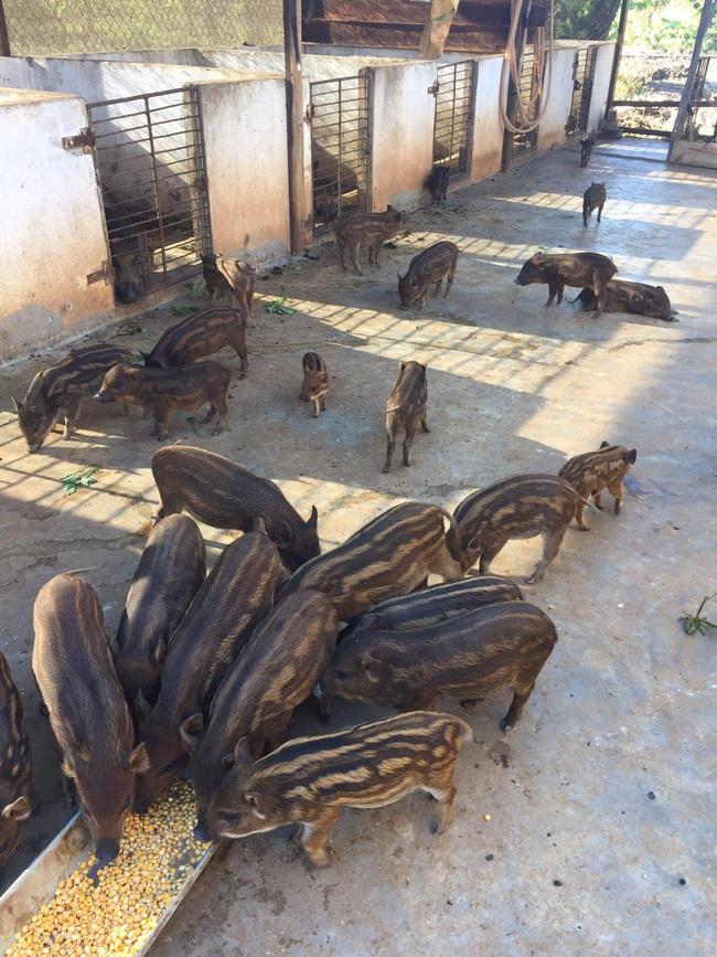 Tận dụng đất vườn nuôi trăm con heo dài đòn, đầu nhỏ, lão nông Đắk Lắk mỗi tháng dằn túi 30 triệu đồng - Ảnh 3.