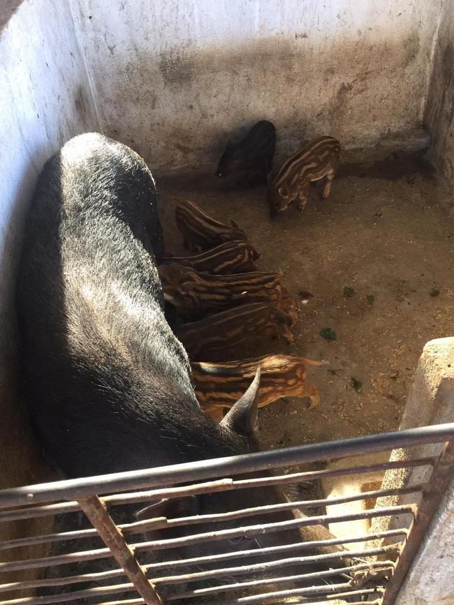 Tận dụng đất vườn nuôi trăm con heo dài đòn, đầu nhỏ, lão nông Đắk Lắk mỗi tháng dằn túi 30 triệu đồng - Ảnh 2.