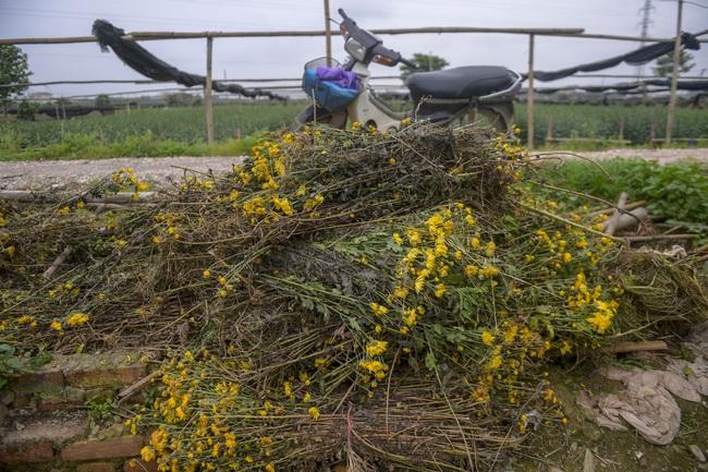 Hà Nội: Xót xa nông dân trồng hoa bỏ ruộng hoang chờ qua dịch Covid-19 - Ảnh 6.