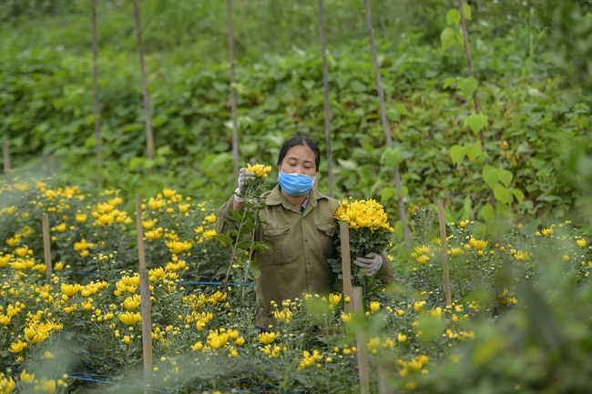 Hà Nội: Xót xa nông dân trồng hoa bỏ ruộng hoang chờ qua dịch Covid-19 - Ảnh 5.