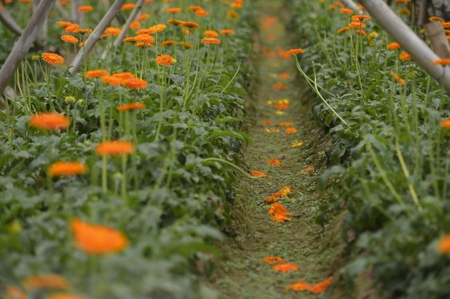 Hà Nội: Xót xa nông dân trồng hoa bỏ ruộng hoang chờ qua dịch Covid-19 - Ảnh 3.