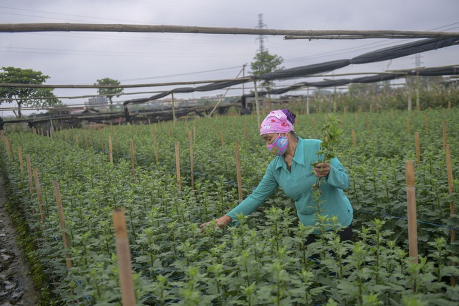 Hà Nội: Xót xa nông dân trồng hoa bỏ ruộng hoang chờ qua dịch Covid-19 - Ảnh 7.