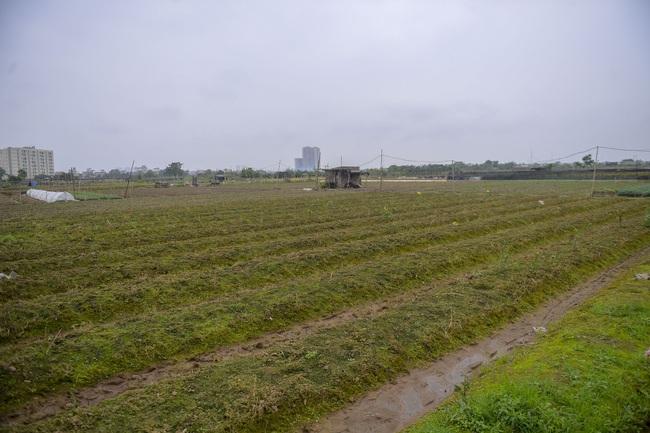 Hà Nội: Xót xa nông dân trồng hoa bỏ ruộng hoang chờ qua dịch Covid-19 - Ảnh 9.
