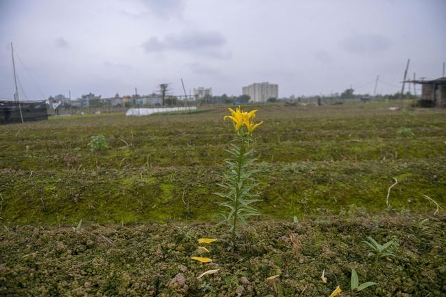 Hà Nội: Xót xa nông dân trồng hoa bỏ ruộng hoang chờ qua dịch Covid-19 - Ảnh 1.