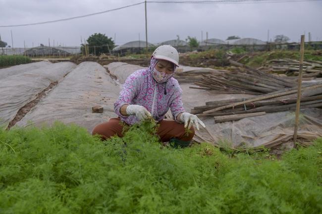Hà Nội: Xót xa nông dân trồng hoa bỏ ruộng hoang chờ qua dịch Covid-19 - Ảnh 8.
