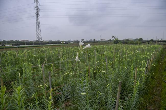 Hà Nội: Xót xa nông dân trồng hoa bỏ ruộng hoang chờ qua dịch Covid-19 - Ảnh 2.