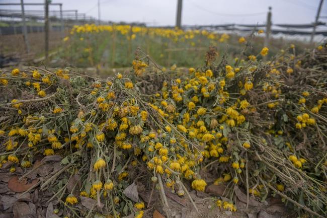 Hà Nội: Xót xa nông dân trồng hoa bỏ ruộng hoang chờ qua dịch Covid-19 - Ảnh 4.