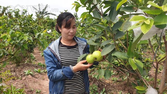 Nam Định: Trồng vườn ổi sai trĩu quả, nuôi được cả con đi du học - Ảnh 3.
