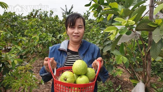 Nam Định: Trồng vườn ổi sai trĩu quả, nuôi được cả con đi du học - Ảnh 1.