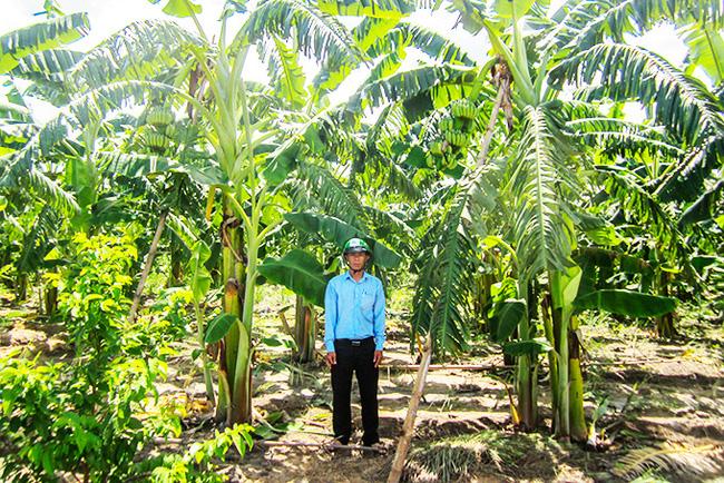 Ứng dụng công nghệ trồng chuối cấy mô - Ảnh 1.