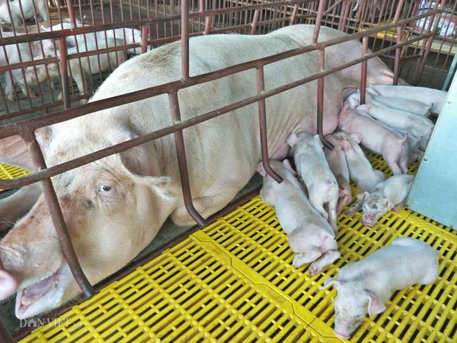 Khó mua lợn trắng, dân đành nuôi lợn rừng làm cỗ - Ảnh 2.