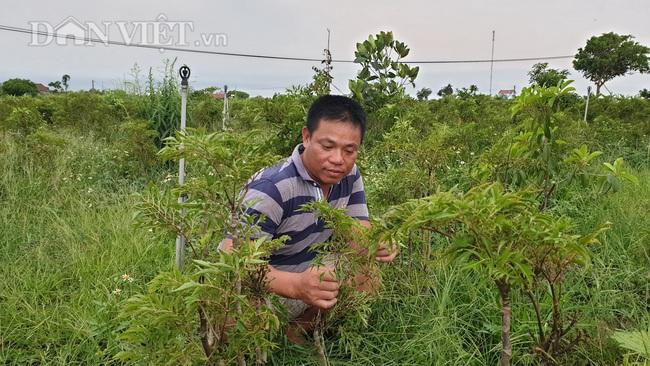 Nam Định: Đinh lăng giá rẻ như cho, bán đi chỉ đủ tiền thuê người làm cỏ - Ảnh 1.