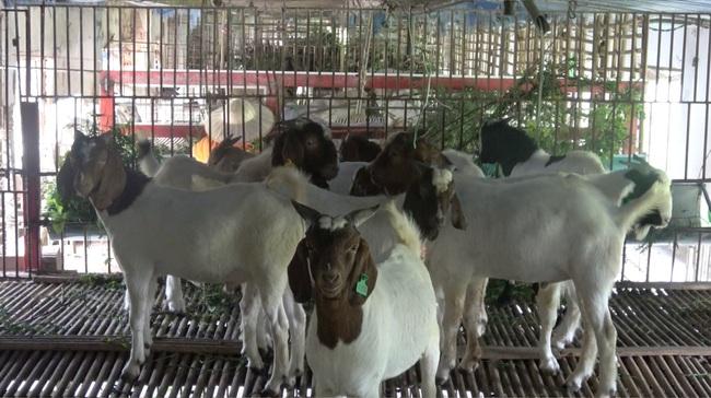 Bí quyết nuôi dê thành công của trang trại dê DTH FARMT - Ảnh 2.