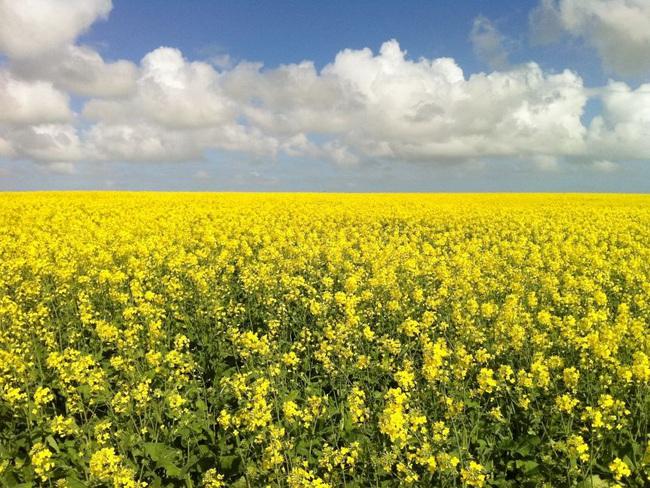 Chấp thuận trồng cây biến đổi gen ở Nam Úc - Ảnh 1.