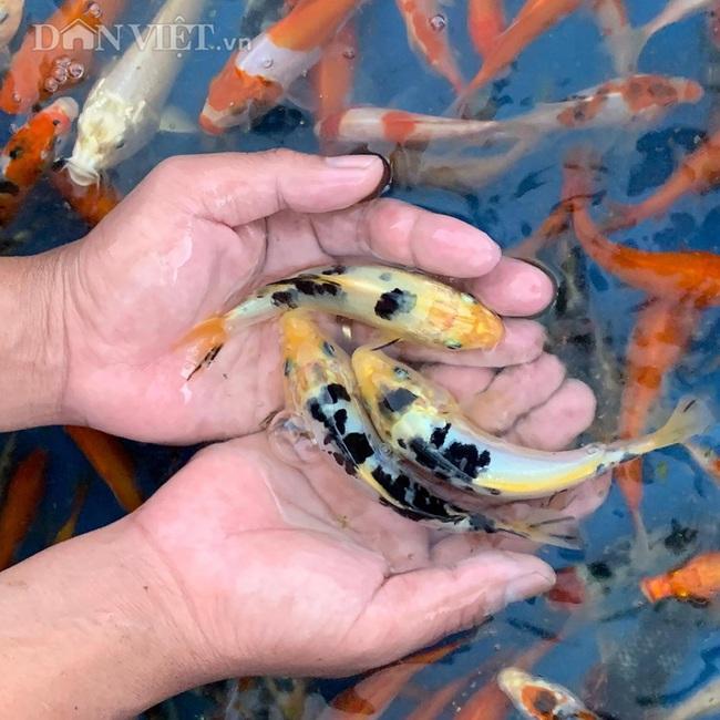 Hải Phòng: Nuôi loại cá đắt nhưng cắt ra miếng, sau 3 tháng có ngay 3 triệu/con. - Ảnh 2.