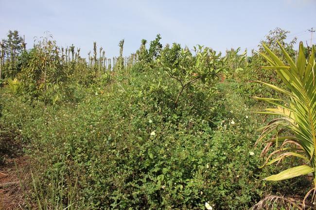 Làm thuận tự nhiên, khu vườn ở Đắk Lắk sống khỏe giữa mùa khô hạn - Ảnh 4.