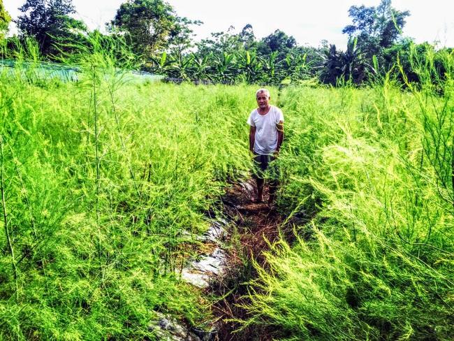 Nghệ An: Lão nông trồng măng tây mỗi ngày đút túi gần 1 triệu đồng   - Ảnh 2.