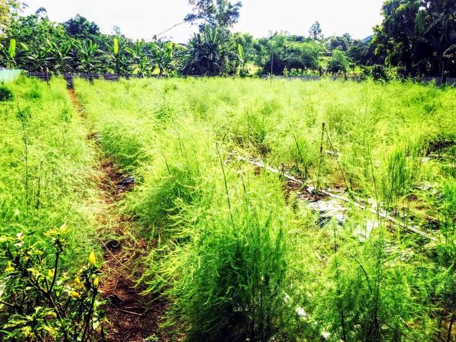 Nghệ An: Lão nông trồng măng tây mỗi ngày đút túi gần 1 triệu đồng   - Ảnh 3.