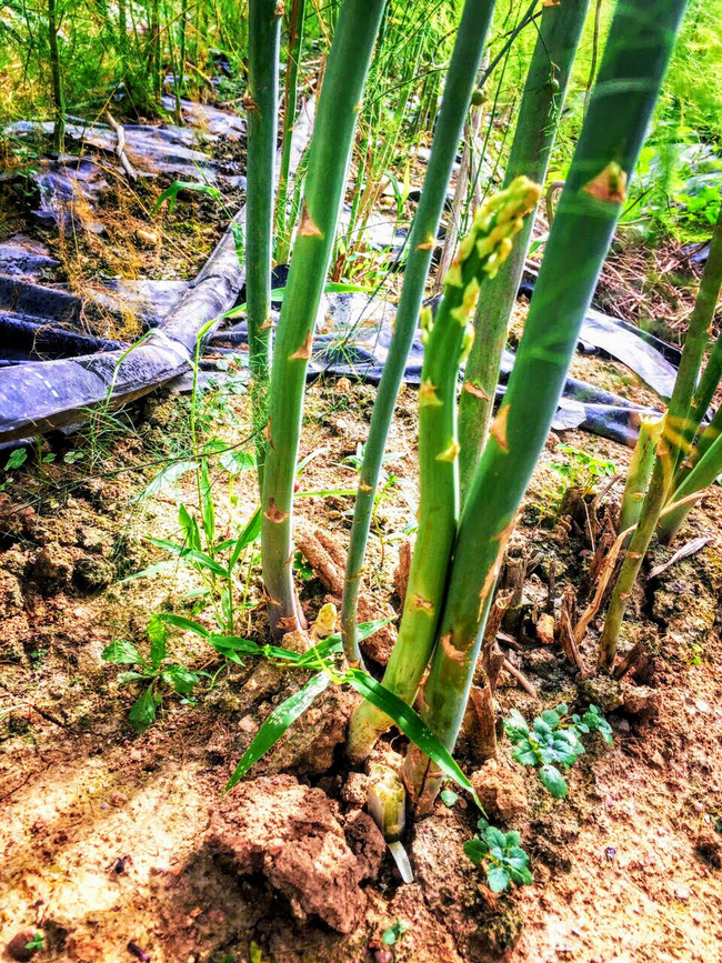 Nghệ An: Lão nông trồng măng tây mỗi ngày đút túi gần 1 triệu đồng   - Ảnh 4.