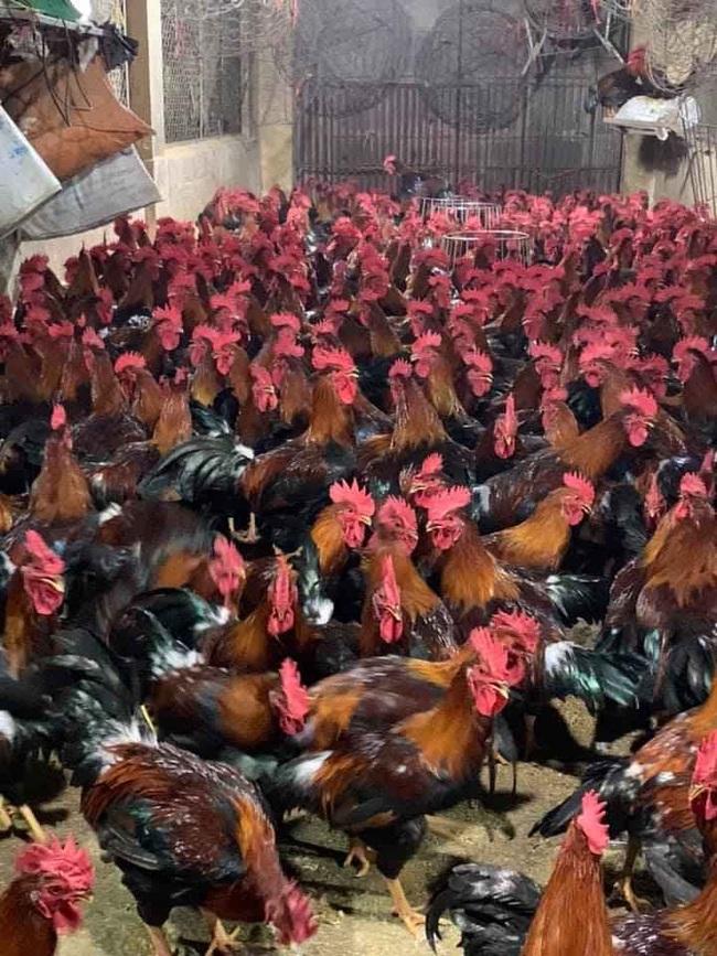 Giá gia cầm hôm nay 27/5: Giá vịt thịt tăng cao, nhiều hộ vẫn phải bán giá thấp - Ảnh 2.