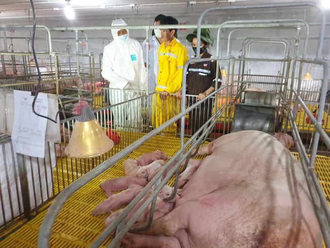 Masan Meat Life: Chuẩn bị xuất chuồng khoảng 45.000 con lợn thịt   - Ảnh 1.