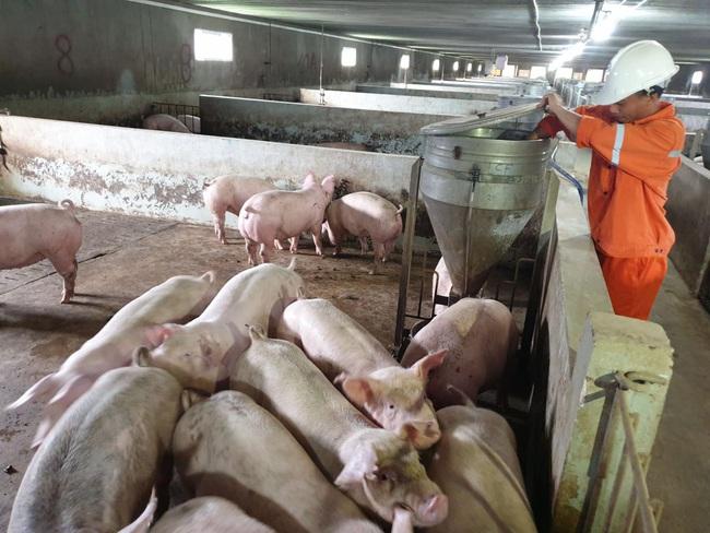 Masan Meat Life: Chuẩn bị xuất chuồng khoảng 45.000 con lợn thịt   - Ảnh 2.