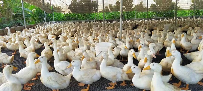Giá gia cầm hôm nay 28/5: Giá gà thịt công nghiệp tăng dần, vịt thịt ở mức cao - Ảnh 2.