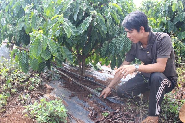 """Nông dân Đắk Lắk chống hạn cho cây trồng bằng mô hình tiết kiệm nước """"3 trong 1"""" - Ảnh 3."""