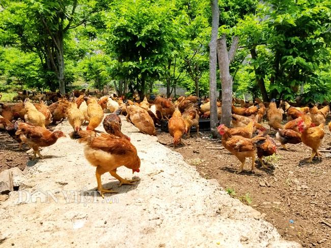 """Lão nông bị nghĩ """"khùng"""" vì nuôi ruồi lấy trứng chăn đàn gà nghìn con  - Ảnh 6."""